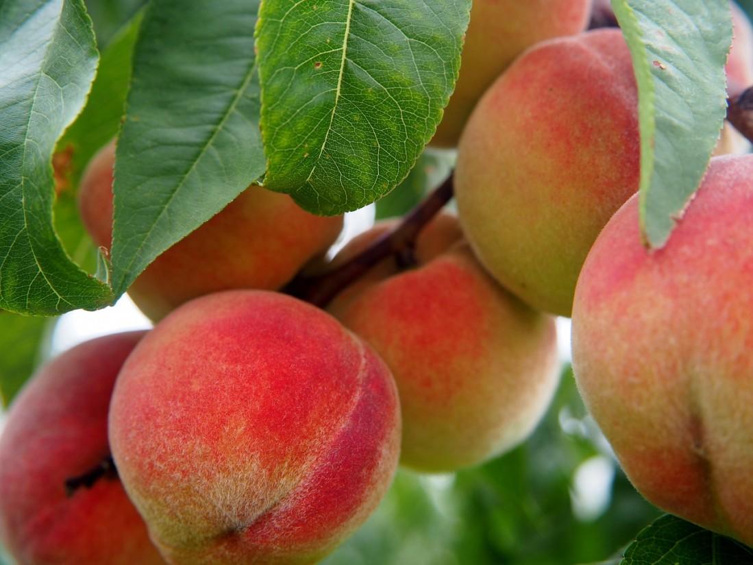 Alertan de una distorsión en el mercado de fruta de hueso con menos kilos y menor precio