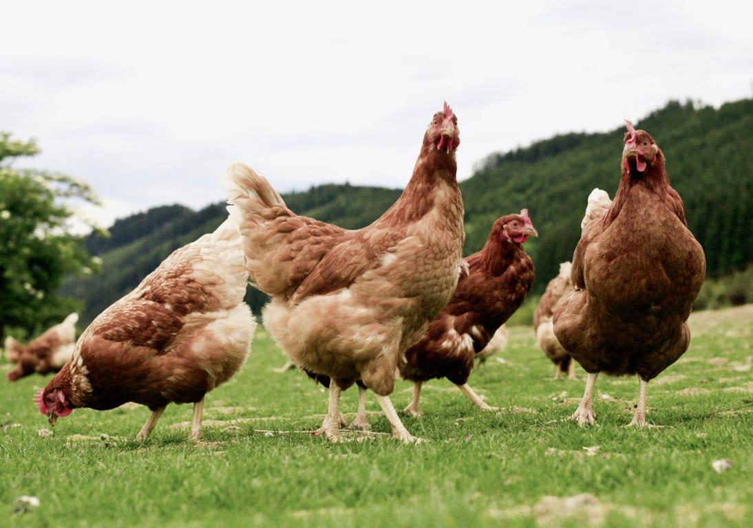 La cría en producción alternativa de la avicultura de puesta es del 22,4% en España