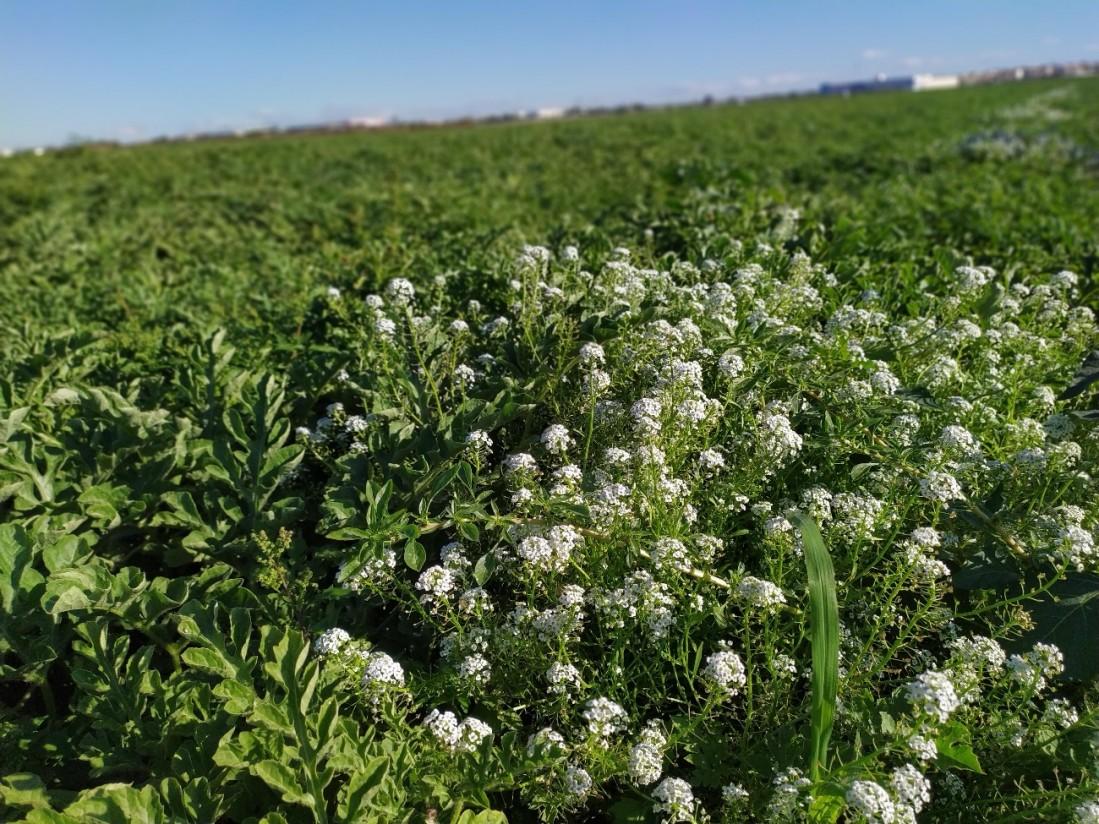 Efecto de la introducción del aliso intercalado en el cultivo de sandía sobre la abundancia de plagas y enemigos naturales