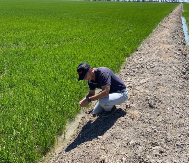 Brandt desarrolla una tecnología que disminuye el impacto de la salinidad sobre el cultivo del arroz