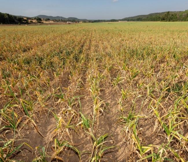 ASAJA CLM critica la propuesta de Agroseguro para la nueva línea del ajo