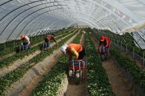 Huelva cierra la campaña de la fresa con un 8% más de producción