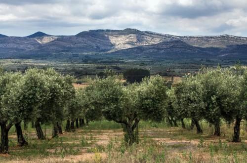 Cooperativas rebaja sus estimaciones de producción de aceite de oliva por la falta de lluvias