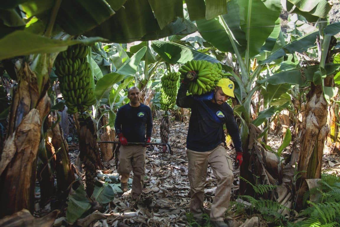 Recogida Plátano de Canarias _baja