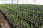 La CE aprueba 19 M€ para protección contra los insectos vectores en los viveros