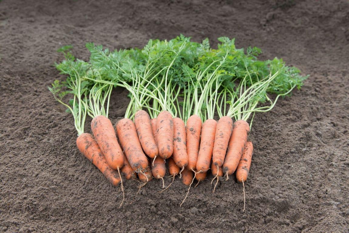 carrots_nazareth-10301-LQ _baja