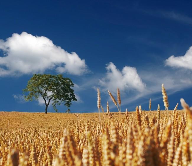 COPA-Cogeca prevé mayores cosechas de cereales y oleaginosas en la UE en la nueva campaña 2021/22