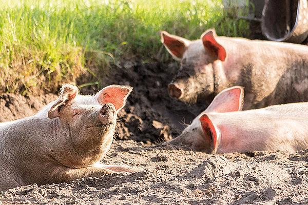 La Peste Porcina Africana saltó ya a los cerdos domésticos de dos granjas en Alemania
