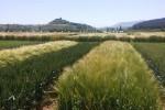 Cooperativas eleva su previsión de cosecha de cereales a 24,47 millones de toneladas