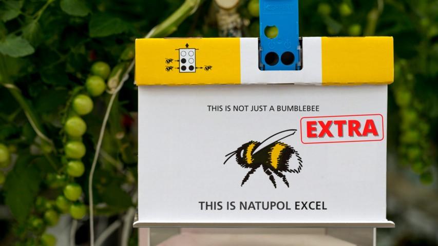 Koppert desarrolla una nueva colmena con más abejorros para los productores de tomate