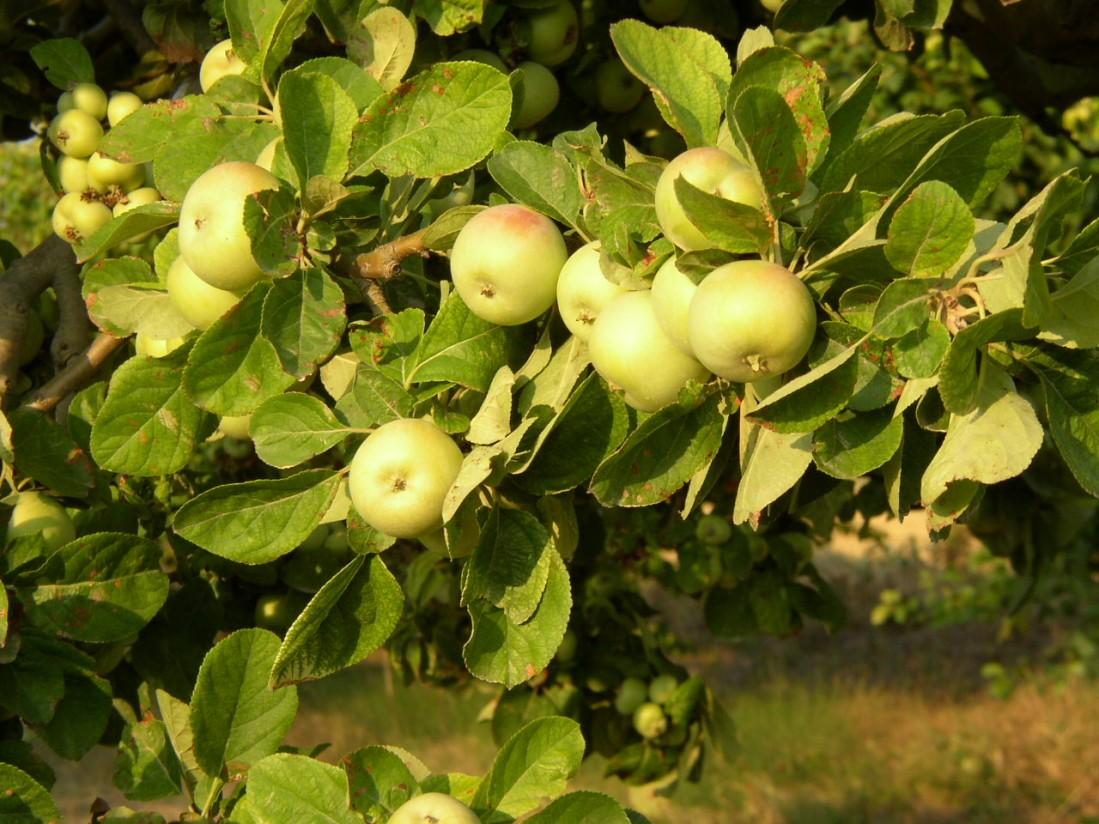 Europa tendrá un 10% más de manzanas y un 28% menos de peras en 2021/22