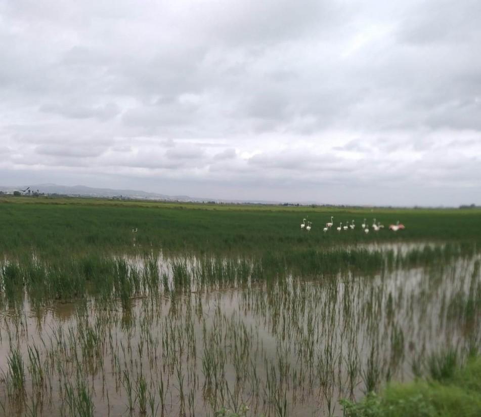 Los productores de arroz de La Albufera denuncian destrozos provocados por los flamencos