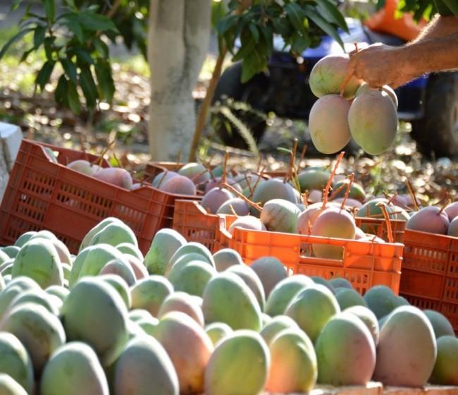 Los productores malagueños de mango preven una buena campaña
