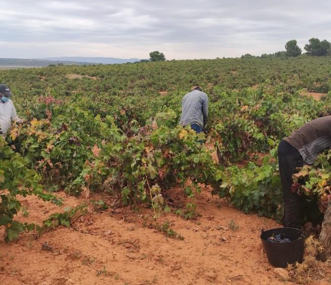 Primeras estimaciones de producción vitivinícola nacional de entre 39 y 43 Mhl en 2021/22