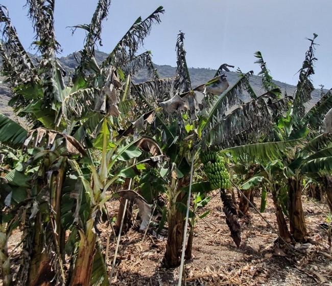 Agroseguro: la reciente ola de calor y viento en Canarias eleva las indemnizaciones a más de 10 M€