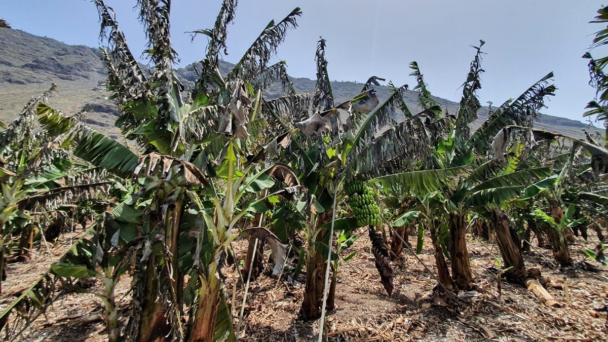 Agroseguro – Ola de calor en La Palma _baja