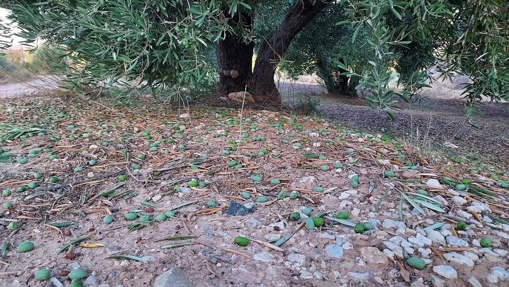 Agroseguro – Pedrisco – Olivar – Jaen