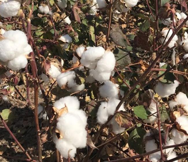 La producción andaluza de algodón bajará más de un 5% y rondará las 149.210 t en la próxima campaña