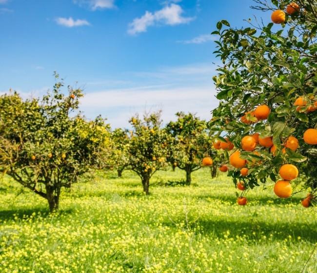 Jornada online del MAPA el 16-S sobre «El desafío y la oportunidad de las tecnologías» en fruta de hueso y cítricos