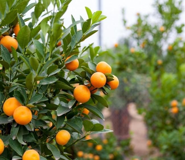 Casi un 5% menos y unos 6,7 Mt de aforo citrícola nacional estimado por el MAPA en 2021/22