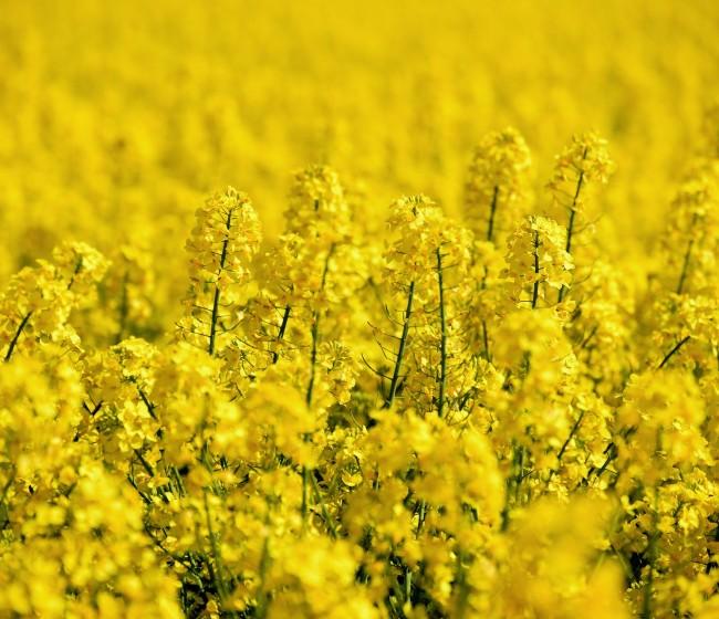 Grupo Fertiberia recomienda el uso de su línea de fertilizantes SulfActive para el cultivo de la colza