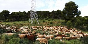 El pastoreo ovino como herramienta para el control de la vegetación