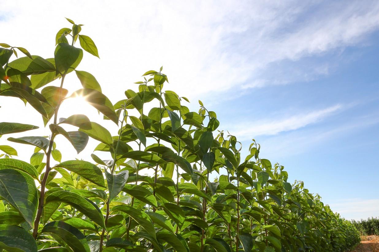 Viveros Hernandorena mostrará en Fruit Attraction la nueva variedad de kaki Ribera Sun