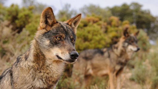 Las 4 CC.AA. «loberas» presentarán recurso contencioso ante la AN por la inclusión del lobo en el LESPRE