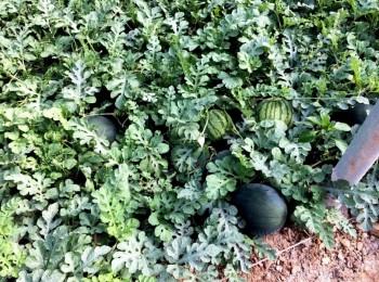 Malos precios en el melón y la sandía en el ecuador de su campaña