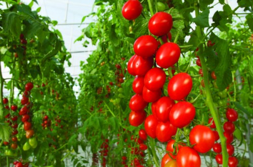 Bayer ampliará su oferta de semillas hortícolas producidas en ecológico