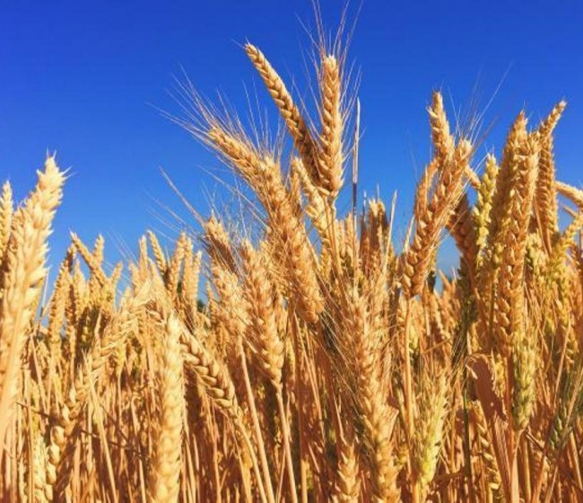 Producción mundial y consumo de trigo se mantienen en niveles récord para 2021/22