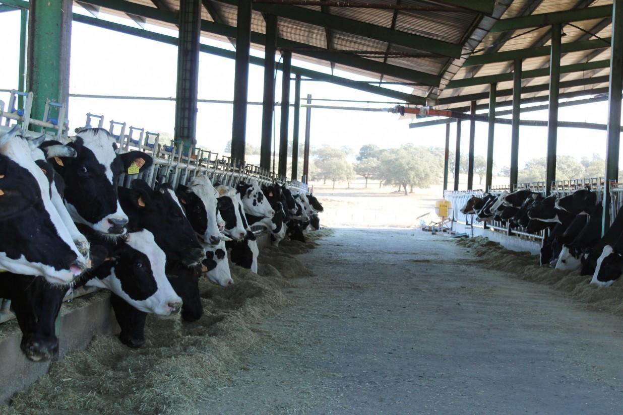 El MAPA plantea límites legales de 725 vacas lecheras o de 1.500 terneros de cebo por explotación bovina