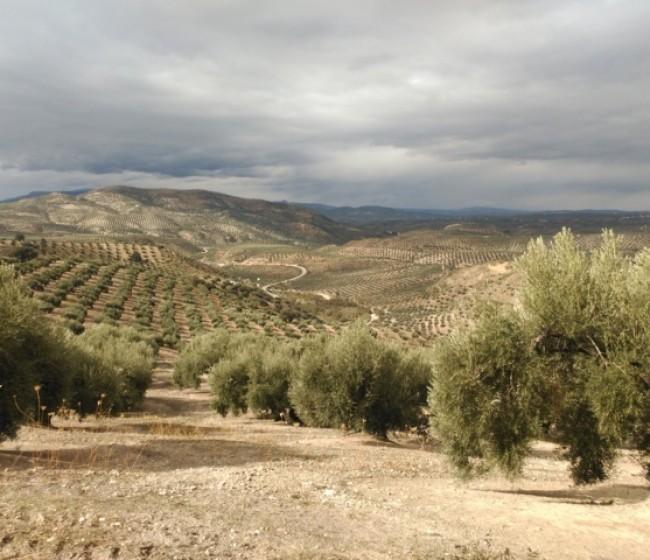 Métodos de control de la mosca del olivo, una de sus principales plagas