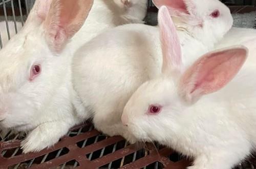 De Heus lanza un nuevo programa nutricional para conejos