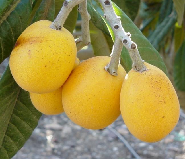 Frutales de clima subtropical: níspero japonés y mango