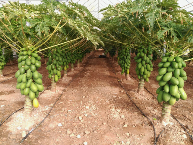 papaya 1 (FILEminimizer)