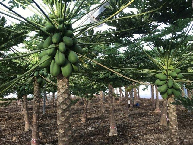 Frutales de clima tropical: papaya, pitaya y pasiflora