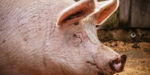 Influencia de la ventilación sobre la concentración de amoníaco y los rendimientos productivos en engordes de porcino