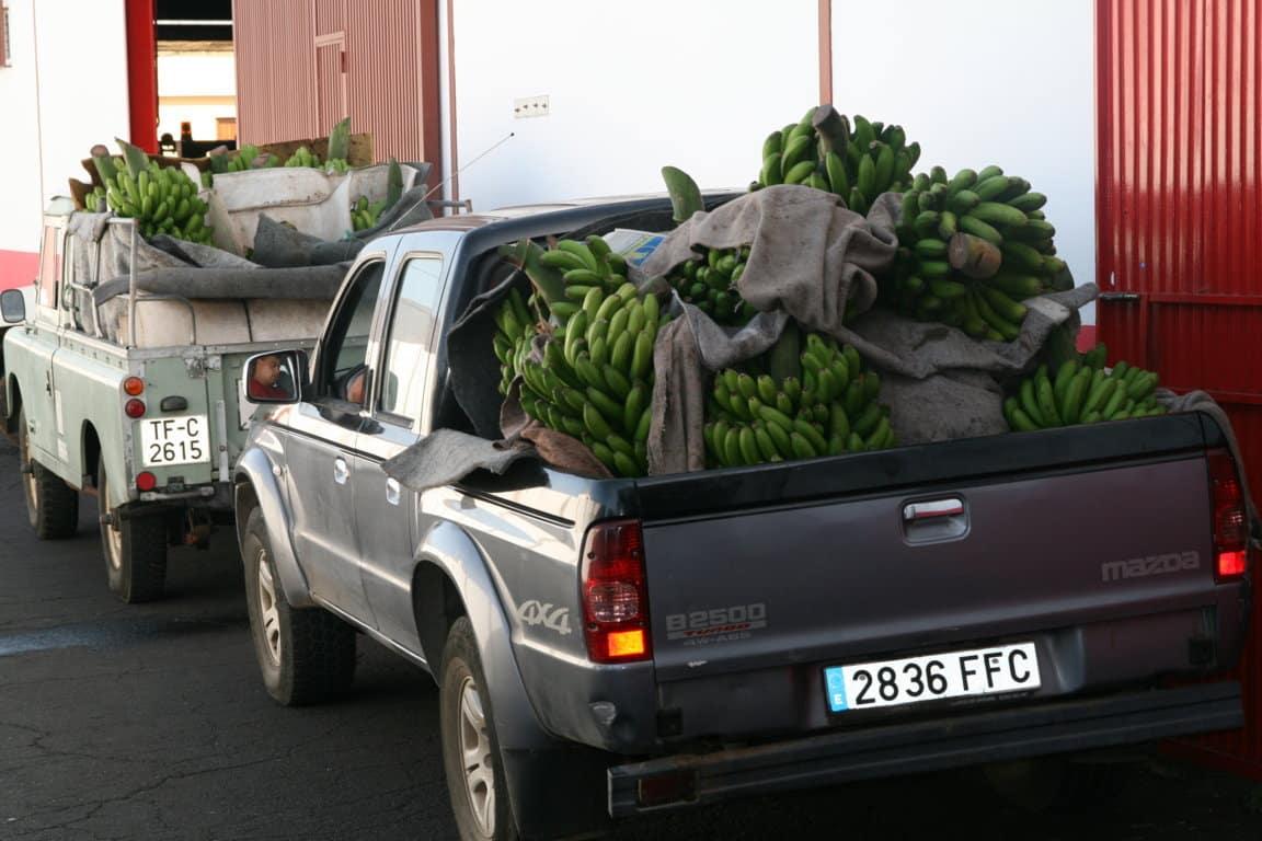 Asprocan desmiente que se pueda producir un desabastecimiento de plátanos