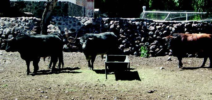 Beneficios de la aplicación del carro unifeed en ganado vacuno extensivo de lidia