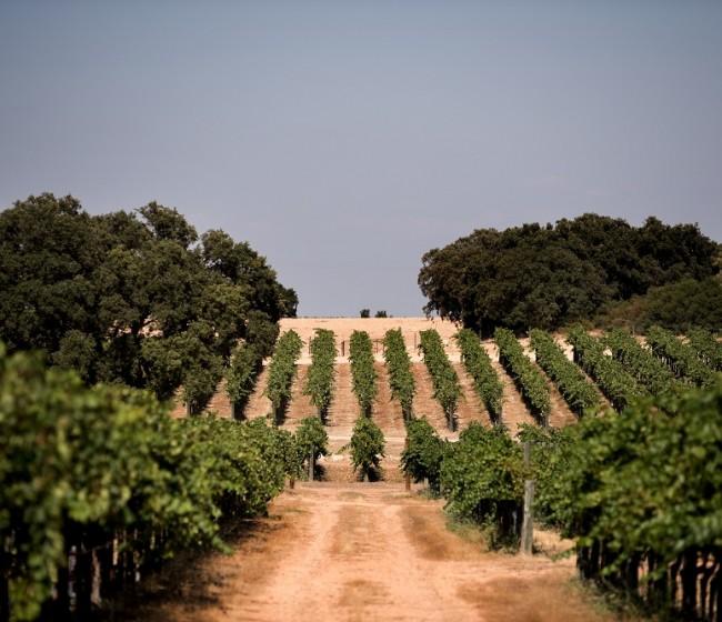 Menos potencial vitícola y más superficie plantada de viñedo al final de la campaña 2020/21