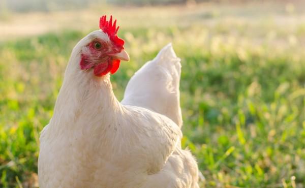 El sector avícola alerta que podría perder más de 300 M€ por el incremento de costes