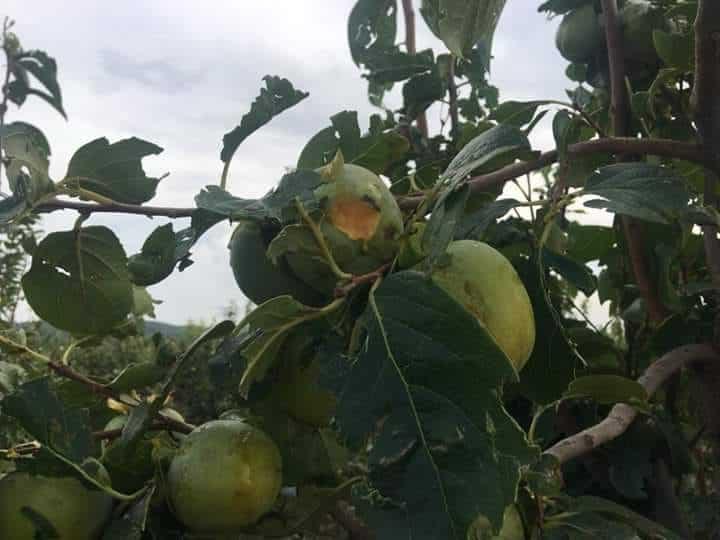 La DANA de final de septiembre provocó daños en más de 25.000 ha de cultivos asegurados