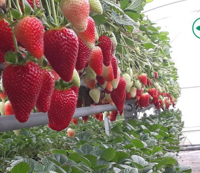 New Growing System desarrolla un nuevo sistema de cultivo rotacional en bandejas para fresa
