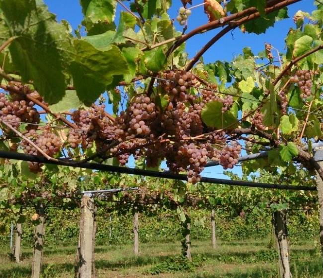 Recta final para una positiva campaña nacional de uva de mesa en 2021