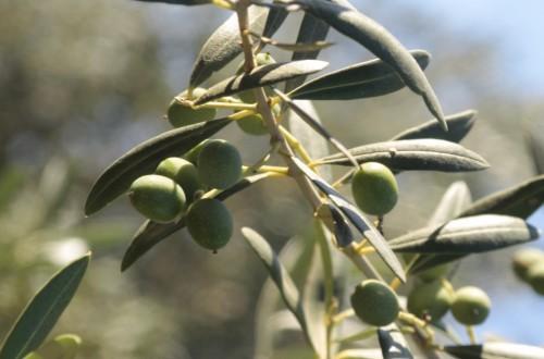 La producción de aceituna verdeable cierra con un aforo de 593.000 t en 2021/22