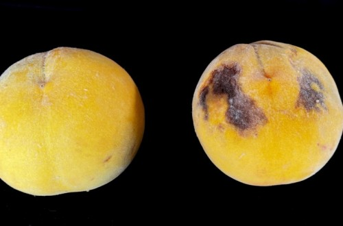 Estrategias precosecha para reducir mermas de producción en el melocotón tardío de Aragón