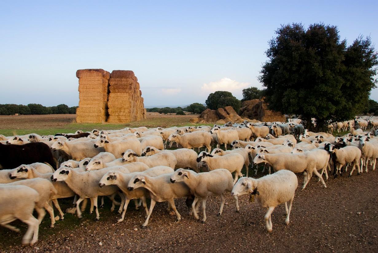 El FEGA avanza los importes unitarios provisionales de las ayudas asociadas a la ganadería campaña PAC 2021