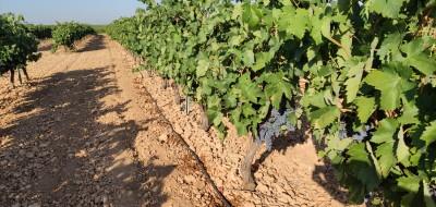 """La DOCa """"Rioja"""" vuelve a frenar cualquier crecimiento de su masa vegetal vitícola en 2022"""