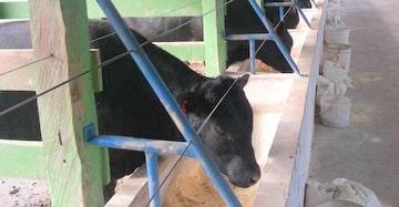 Los aceites esenciales en el cebo del ganado bovino. Ejemplo de aplicación práctica